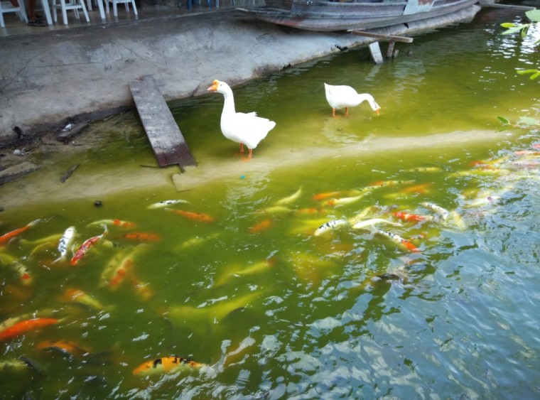 Fish and Geese at Hua Hin Floating Market