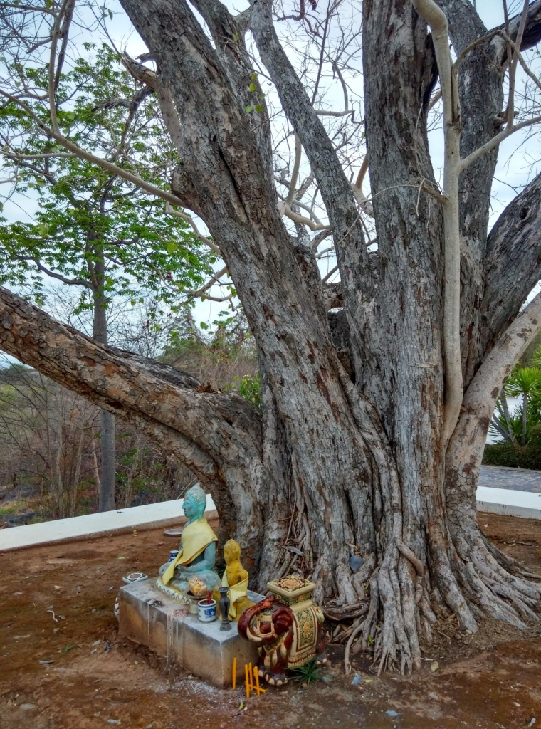 A 1000 year old tree brought to the island from Bodghaya in India.